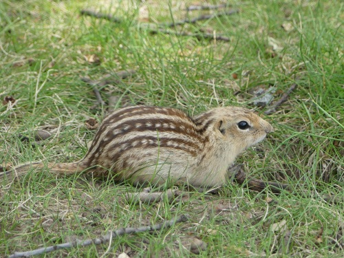 A Thirteen-lined Ground Squirrel at a rest stop in Wisconsin.