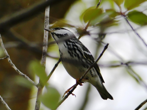 A nice rest stop bird, a male Blackpoll Warbler. They were so much easier to see in Minnesota than at home!