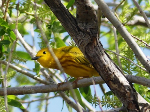 A Yellow Warbler peeks around the tree to watch me. One of my favorite photos!
