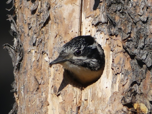 Nestling American Three-toed Woodpecker