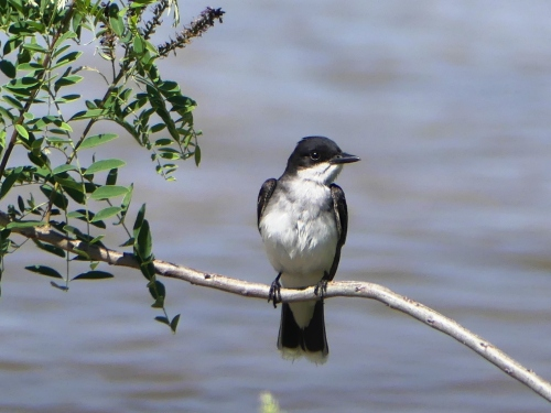 An Eastern Kingbird enjoys its perch over the Platte River.