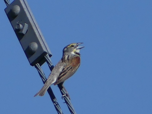 It was fun to see Dickcissels where they are common. These guys seem to sing all day!