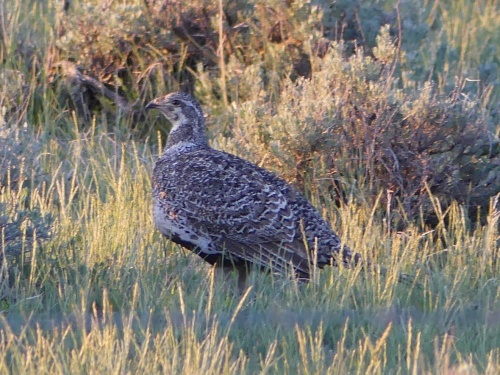 A Greater Sage-Grouse that I found in Montana