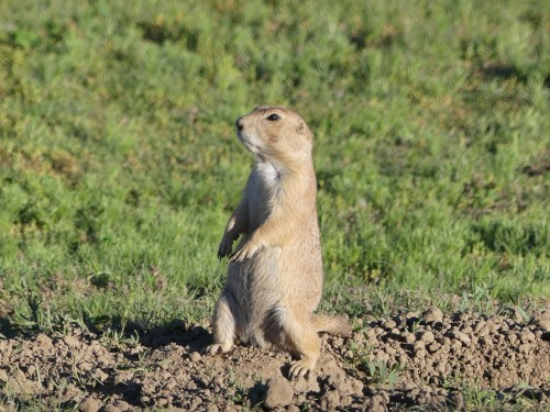 Update: The prairie dogs at Devils Tower are the same species that I saw at Grasslands National Park, Black-tailed prairie dogs.