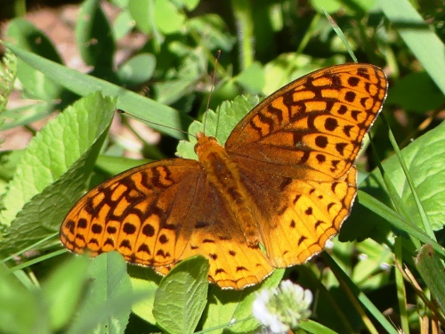 A Great Spangled Fritillary that Derek and I found near Boone in June 2016. We frequently encountered beautiful butterflies while searching for birds.