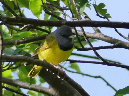 Our lovely Mourning Warbler on the Blue Ridge Parkway in Avery County