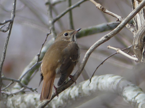 A pretty Hermit Thrush that Jeff and I found in Chowan County.