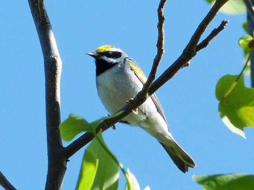Cynthia and I spent a day with this Golden-winged Warbler in Watauga County