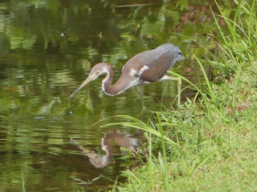 My Forsyth County Tricolored Heron
