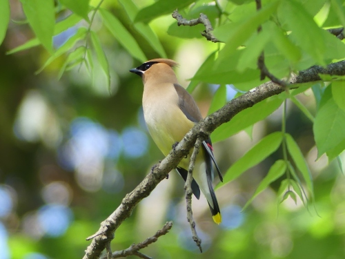 A lovely Cedar Waxwing found on the Bakersville Creek Walk in Mitchell County