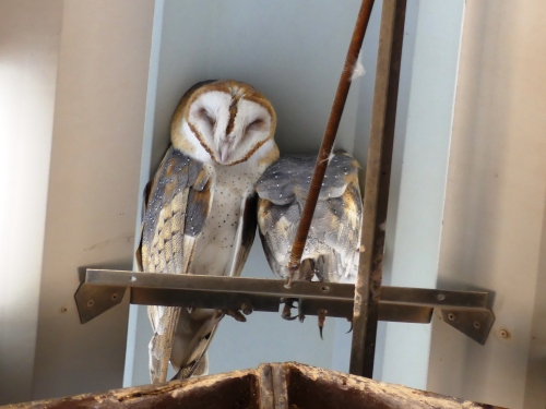 We were privileged to see these beautiful Barn Owls.