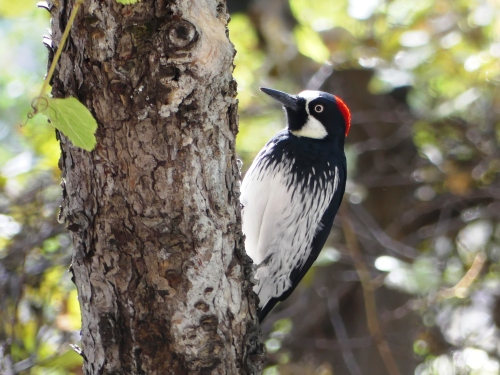 An Acorn Woodpecker at the George Walker House in the Chiricahua Mountains. A common western species, but always fun to see.