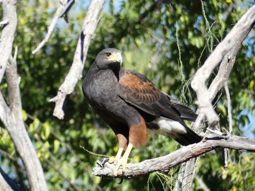 Harris's Hawk waiting to come down for its supper.