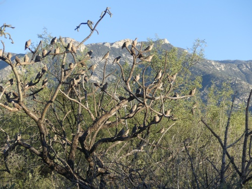 The view from one of the trails at WOW Arizona. The tree in the foreground is overflowing with Mourning Doves.