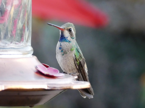 The many hummingbirds at WOW Arizona provided a good opportunity to study a few species up close. I especially liked this immature male Broad-billed Hummingbird.