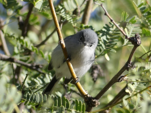 CJ, co-owner of WOW Arizona, helped me get good looks at Black-tailed Gnatcatchers.