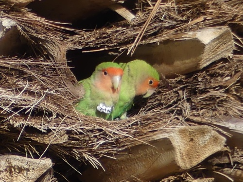 Rosy-faced Lovebirds nest in the palm trees.