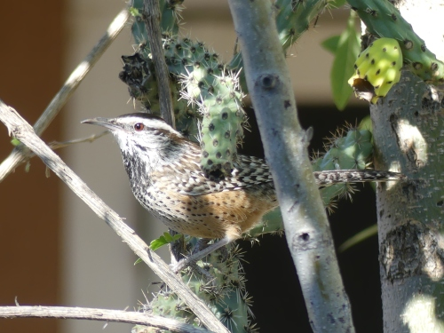 I loved watching this Cactus Wren in a cactus in front of the house!