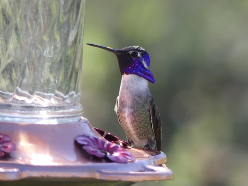 This adult male Costa's Hummingbird gave me my best looks ever for this species.