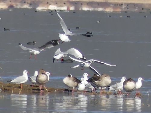 Brown-headed and Black-headed Gulls with Graylag Geese. Even in this rather poor photo, you can easily note the larger size of the Brown-headed Gulls, the dark wingtips, and huge mirrors in the outermost primaries.