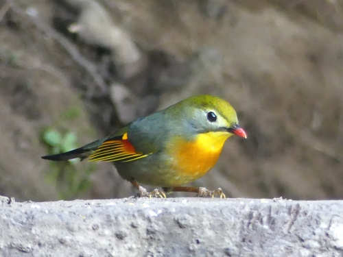 Red-billed Leiothrix. I missed this beautiful little bird on previous trips to China, so I was thrilled to finally get such a wonderful close look this time.