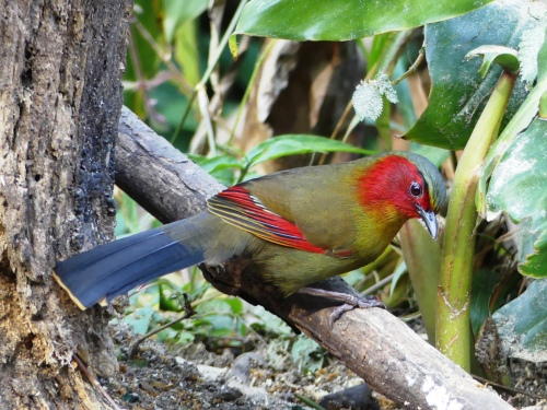 Scarlet-faced Liocichla. These gorgeous birds were fairly common and we frequently saw them with Red-tailed Laughingthrushes.