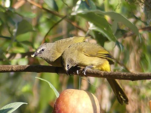 Flavescent Bulbuls enjoying an apple.