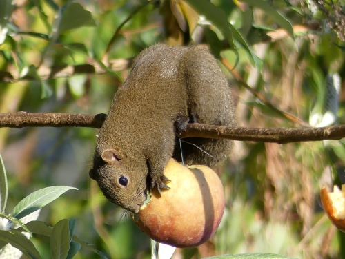 Pallas's Squirrel. These and Northern Tree Shrew were common visitors to the feeding stations.