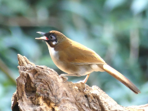 Gray-sided Laughingthrush