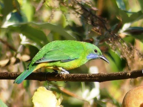 Mrs. Orange-bellied Leafbird