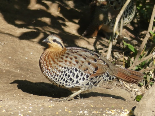 Mountain Bamboo-Partridge (male)