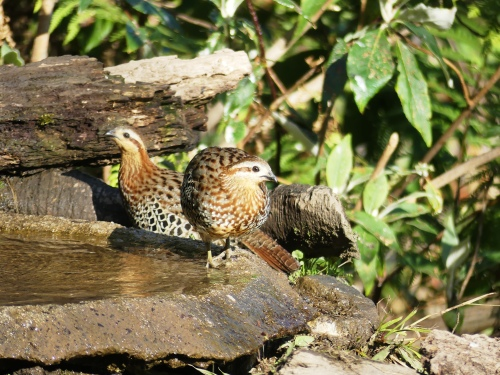 Everyone needs a drink, even shy species like these Mountain Bamboo-Partridges.