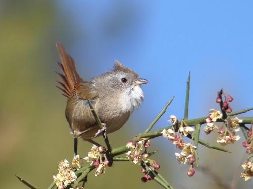 Rufous-tailed Babbler
