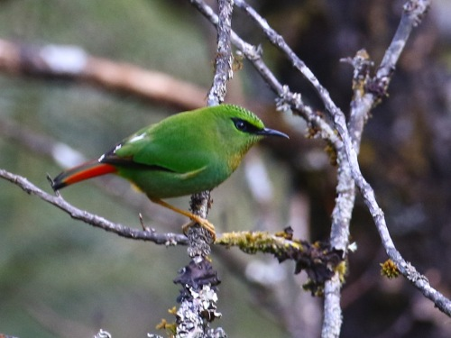 Fire-tailed Myzornis. Photo by John Hopkins.