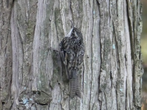 Bar-tailed Treecreeper