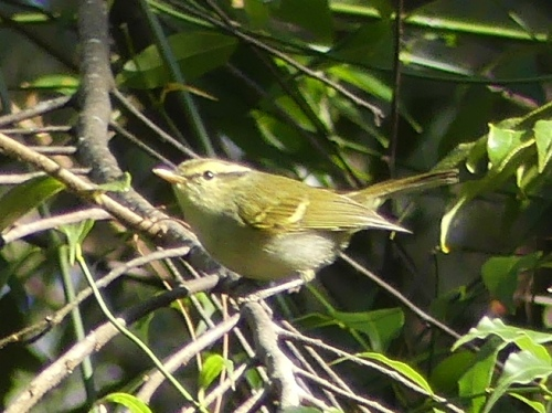 Davison's Leaf Warbler