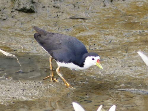 White-breasted Waterhen, a common bird in Asia