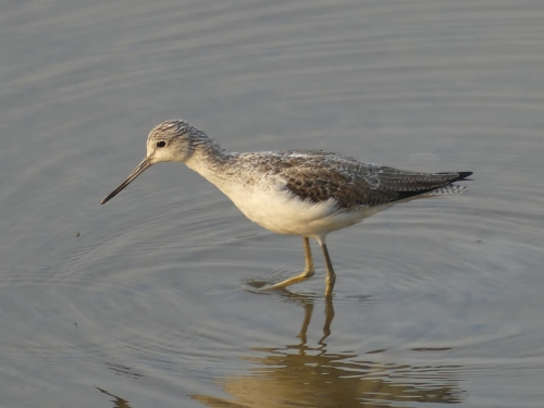 Common Greenshank, a bird that really is common. It occurs in Asia, Europe, Africa, and Australia