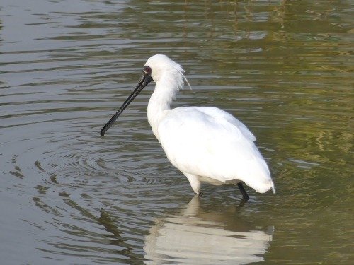 Black-faced Spoonbill, a globally endangered species