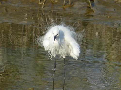 Little Egret, a common Asian bird that is quite similar to Snowy Egret.