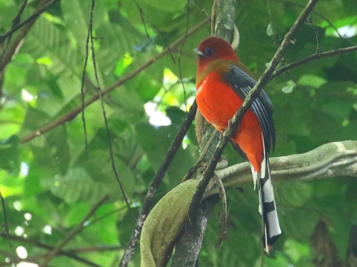 Red-headed Trogon.  Photo by John Hopkins.