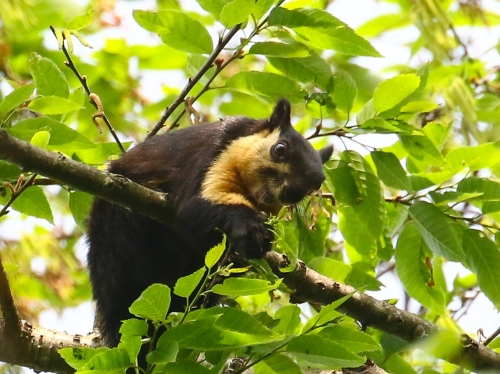 Black Giant Squirrel.  Photo by John Hopkins.