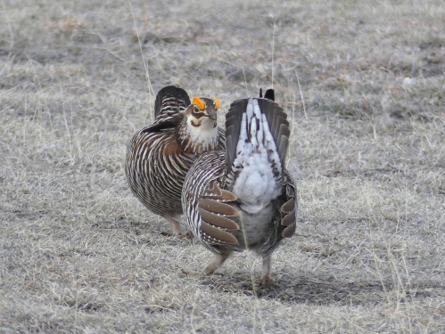 Male Greater Prairie-Chickens challenge each other on the lek.