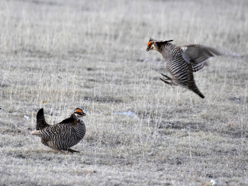 Male Greater Prairie-Chickens step up their game as they fight for the best territories on the lek. Photo by Derek Hudgins.