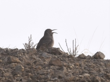 Curve-billed Thrasher in the early morning fog. Photo by Derek Hudgins.