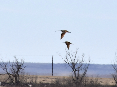 Derek's photo of his 1,000th life bird, Long-billed Curlew at Neenoshe Reservoir.