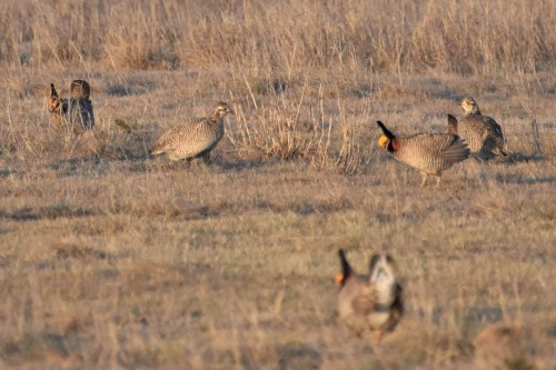 Two female Lesser Prairie-Chickens evaluate their choices. Photo by Derek Hudgins.