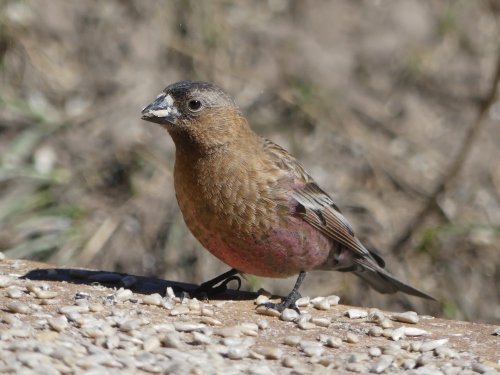 Brown-capped Rosy-Finch, another life bird for me.