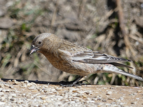 Some of the Rosy-Finches were not easy to identify. This one is probably a Gray-crowned, but I wouldn't bet my life on it.