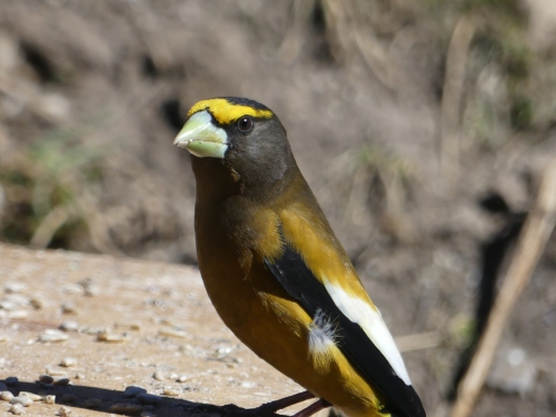 This gorgeous male Evening Grosbeak was another guest at the Casa Hynes feeding table.